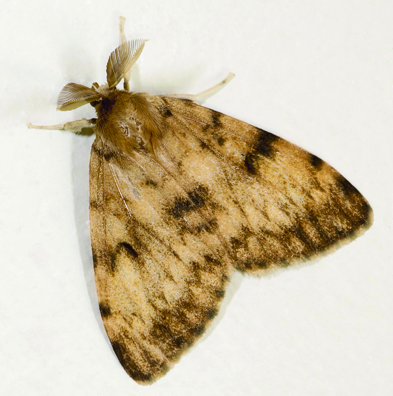 Male-Gypsy-Moth